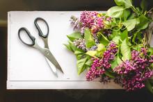 Freshly Cut Lilacs With Scissors