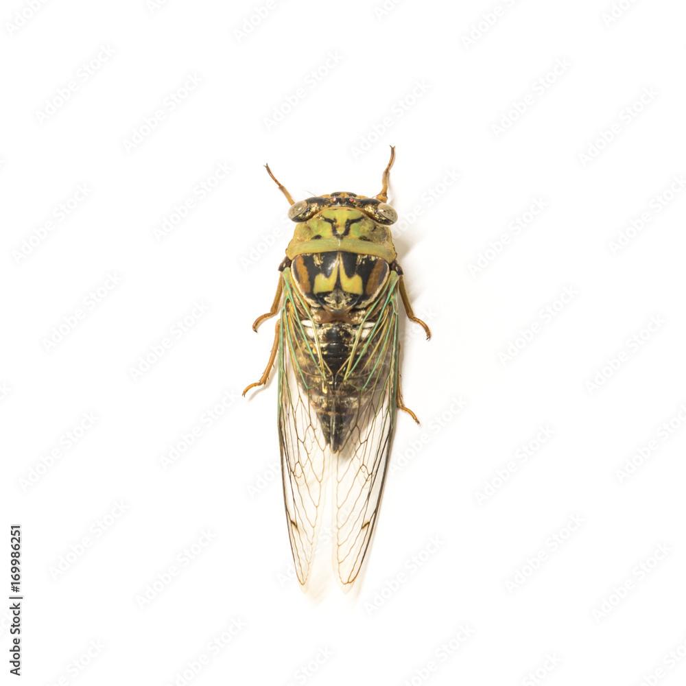 CANVAS Cicada Art print POSTER