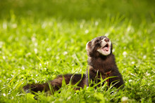 Polecat Posing In Summer Day I...