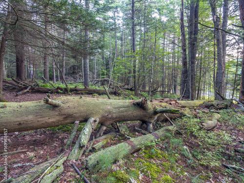 Fotografie, Obraz  Forest in Northeast New York