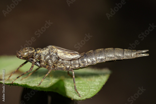 Image of dragonfly larva dried on green leaves. Insect Animal