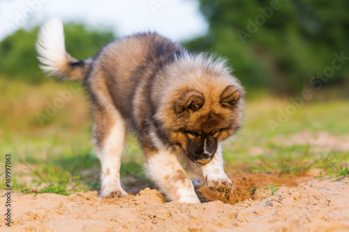 Fototapeten Natur cute elo puppy digs in a sand pit