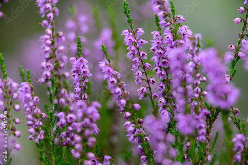 Forest Heather Flowers And Blossoms In Spring Buy This Stock Photo