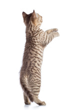 Rear View Of Tabby-cat Kitten Standing On Legs Isolated On White