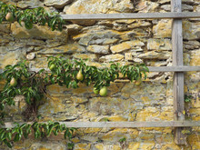 Old Pear Tree