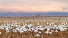 Snow Geese And Sandhill Cranes In A Corn Field