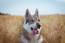 Pictures Of Grey Wolf Dog,russ...