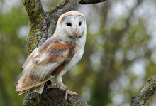 Barn Owl Perched On A Tree Looking Ahead, UK