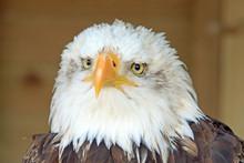Close Up Of  A Large Juvenile Bald Eagle Face With A Plain Background