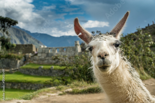 Photo sur Toile Lama Portrait eines Lamas in den Ruinen von Machu Picchu