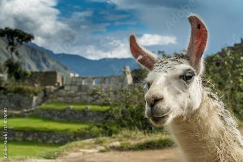 Poster Lama Portrait eines Lamas in den Ruinen von Machu Picchu