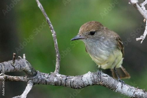 Foto auf AluDibond Südamerikanisches Land Darwinfink, Isla Santa Cruz