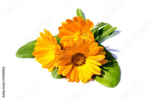 Plakat Nagietków marigolds odizolowywający odizolowywający na białym tle, cięcie out