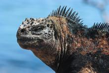 Close Up Of A Sunbathing Semi Urbanized Marine Iguana Against The Blue Waters Of Puerto Ayora Harbour, Santa Cruz. Part Of The Protected Ecosystem Of The Galapagos Islands, Ecuador.