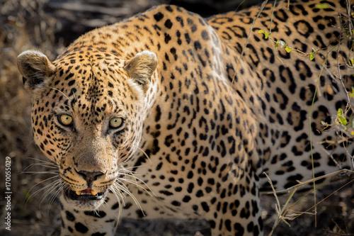 piva-mezczyzna-leopard-walking