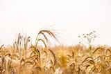 Pole pszenicy. Tło dojrzewania kłosy pszenicy łąkowej. - 170063858