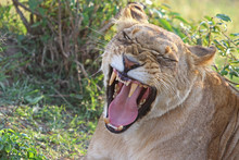 Full Framed Head Of A Lioness Yawning With Mouth Wide Open And  Teeth On Show