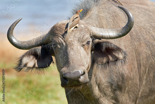 Keuken foto achterwand Buffel Buffalo with an oxpecker perched on it's head in Bumi National Park, Zimbabwe