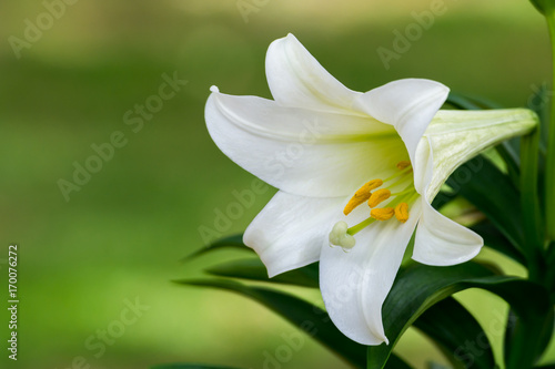 Stampa su Tela Easter Lily