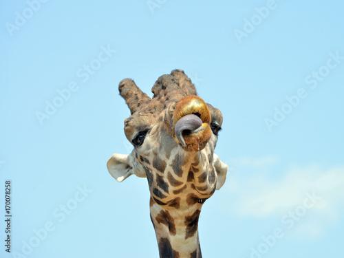 ritratratto di una giraffa, serie fotografica Poster