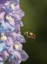 Tri-colored Bumblebee