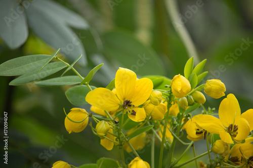 Yellow flower of thai copper pod or cassod tree buy this stock yellow flower of thai copper pod or cassod tree mightylinksfo