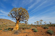 canvas print picture Desert landscape with with quiver trees (Aloe dichotoma), Northern Cape, South Africa .