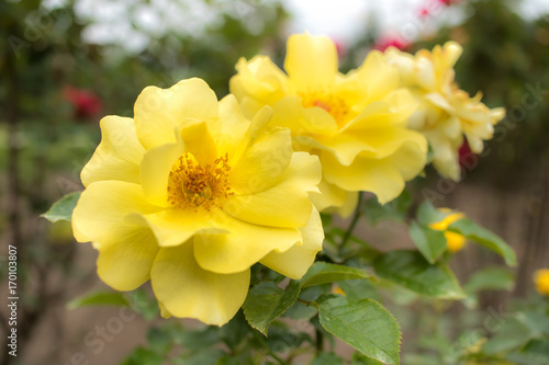 Photographie  Sun Flare; Floribunda Rose, Yellow Rose Originally Produced by the Breeder Warri