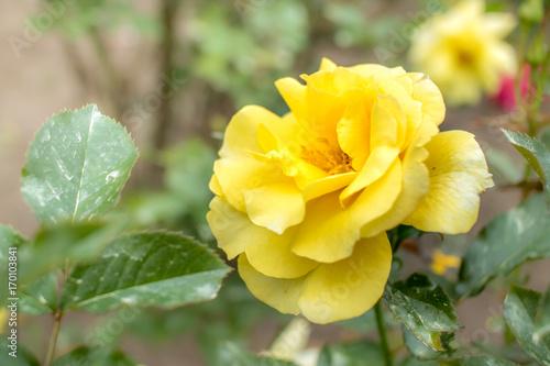 Sun Flare; Floribunda Rose, Yellow Rose Originally Produced by the Breeder Warri Poster Mural XXL