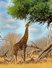 Giraffe Reaching To The Top Of An Acacia Tree Feeding On Fresh Leaves, Hwange