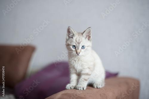 Fototapety, obrazy: kitten of light color