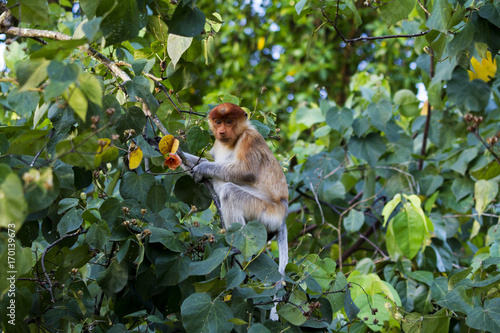 Young Proboscis Monkey Canvas Print