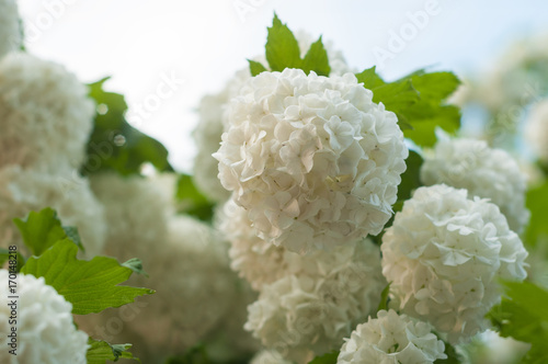 Chinese snowball viburnum flower heads are snowy blooming of chinese snowball viburnum flower heads are snowy blooming of beautiful white flowers in the summer mightylinksfo