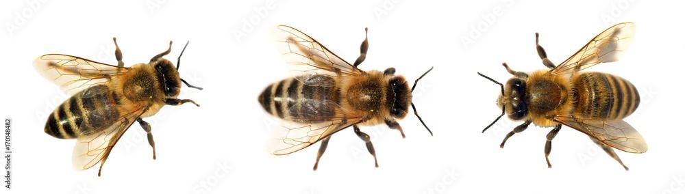 Fototapety, obrazy: group of bee or honeybee on white background, honey bees