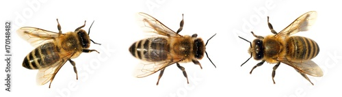 group of bee or honeybee on white background, honey bees