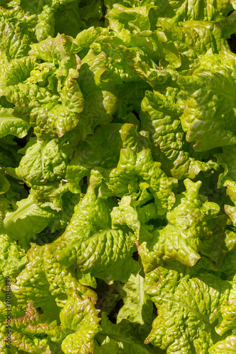 Fotografija  Background of lettuce leaves - variety is Drunken Woman