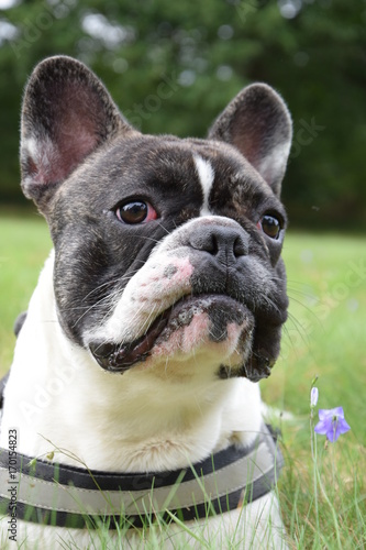Deurstickers Franse bulldog Bouledogue français surpris