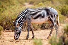 Grevy's Zebra In Samburu Kenya
