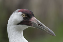 Portrait Of A Whooping Crane