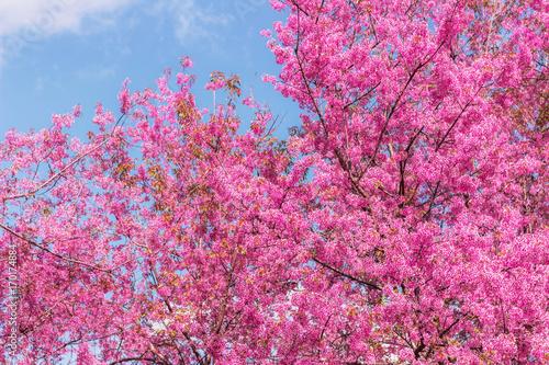 Montage in der Fensternische Rosa Wild Himalayan Cherry with blue sky background. Thai sakura blooming during winter in Thailand