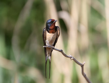 One Barn Swallow Sits On The Reed.