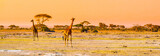 Fototapeta Sawanna - Evening panorama of savanna with giraffes, Amboseli National Park, Kenya, Africa.