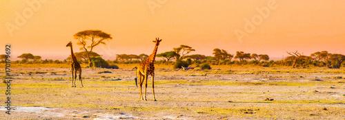 Photo Evening panorama of savanna with giraffes, Amboseli National Park, Kenya, Africa