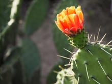 Flower Of Cactus. Flowering Ca...