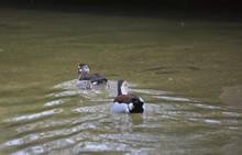 Ringed Teal Ducks