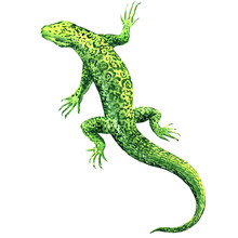 Green Lizard, Top View, Isolat...
