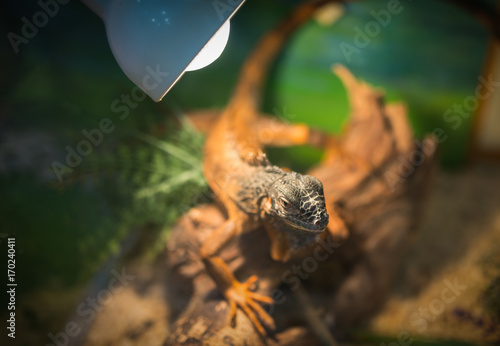 Terrarium with exotic lizard. Selected focus with depth of field.
