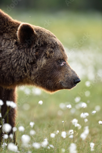 Photo  Side view of brown bear. Scarface. Wounded face of brown bear.