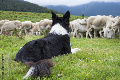 Foto border collie surveillant un troupeau de moutons