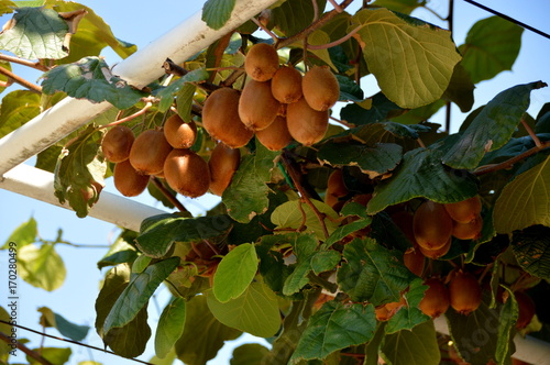 Photo Kiwis (Actinidia)